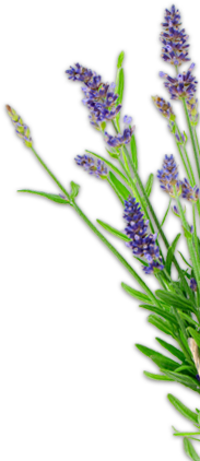 Photo Tour Purple Haze Lavender Farm Sequim Washington