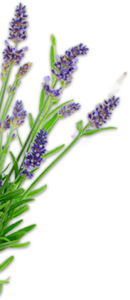 Growing Lavender Purple Haze Lavender Sequim Washington