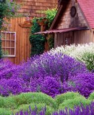 Weddings: Outdoor Wedding Venue - Purple Haze Lavender