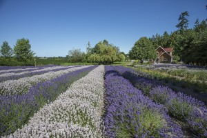 purple haze lavender farm view from gift shop