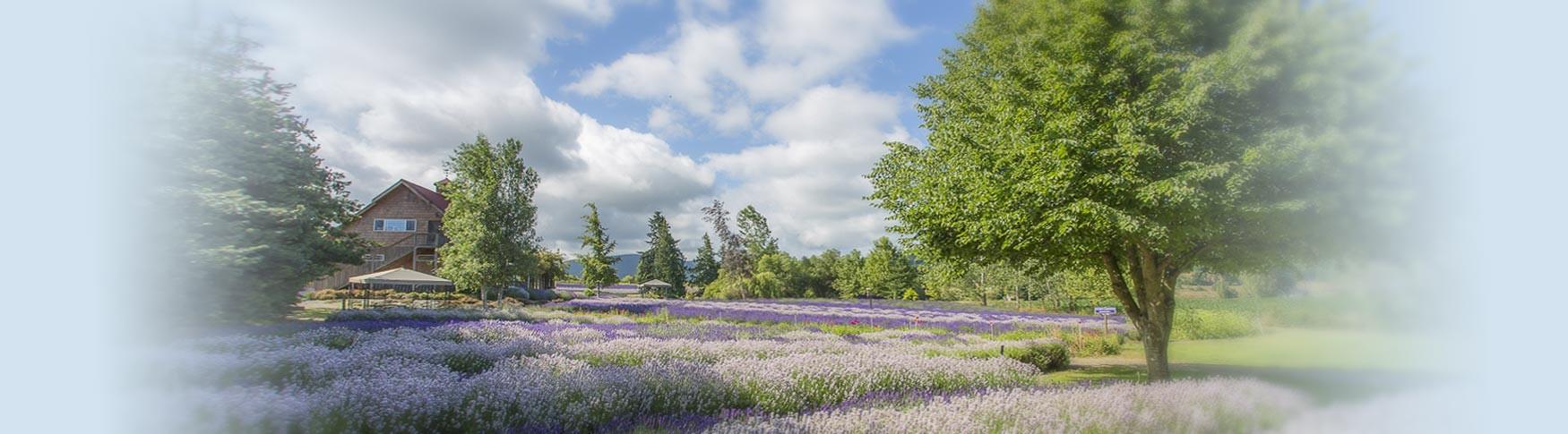 Purple Haze Lavender