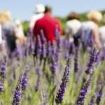 Sequim Lavender Farm Tour