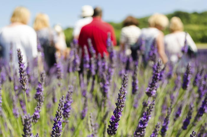 Sequim Lavender Farm Tour