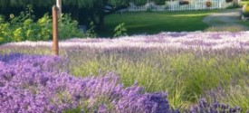 lavender field with birdhouse
