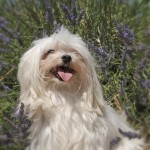 dog in lavender
