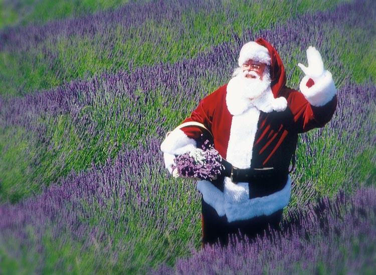 santa in lavender