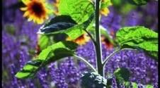hovislav-sunflowerWEB018